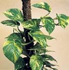scindaptus
