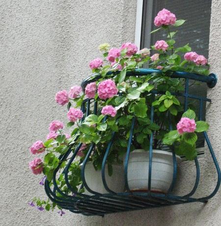 gortenziya_na_balkone_letom