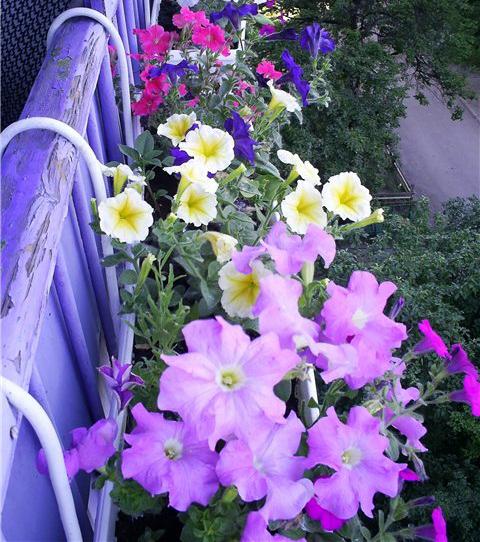 pituniya_golubaya_na_balkone