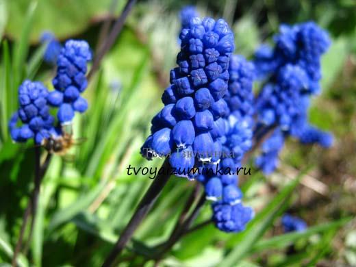 Синий первоцвет