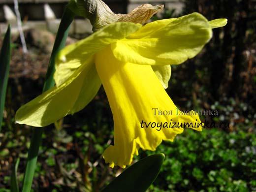 Желтый нарцисс