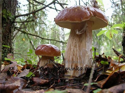 Два белых гриба