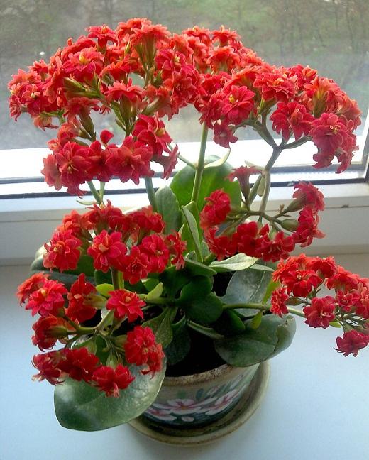 Цветок каланхое на кухне