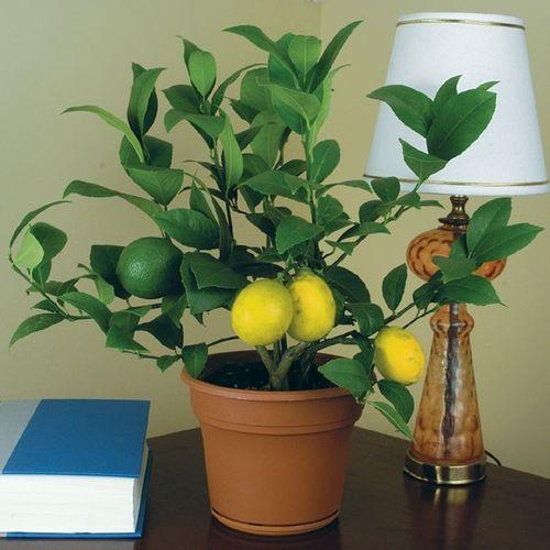 Любимые цветы в доме - лимон
