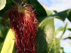Кукурузные рыльцо для лечения заболеваний желчного пузыря