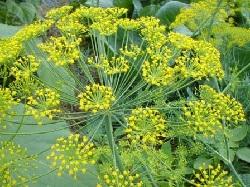 Лечение заболеваний желчного пузыря с помощью уропных семян