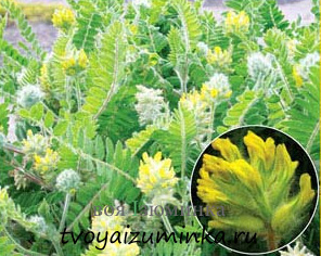 Как себе помочь при стенокардии, лечение народными средствами. Лечение астраголом пушистоцветковым.