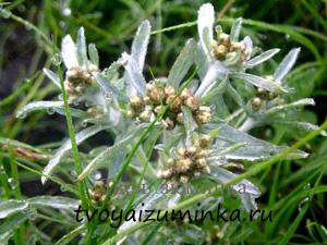 Как себе помочь при стенокардии, лечение народными средствами. Лечение сушеницей болотной.
