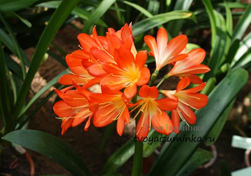 Любимые луковичные цветы: фото, названия и уход в домашних условиях