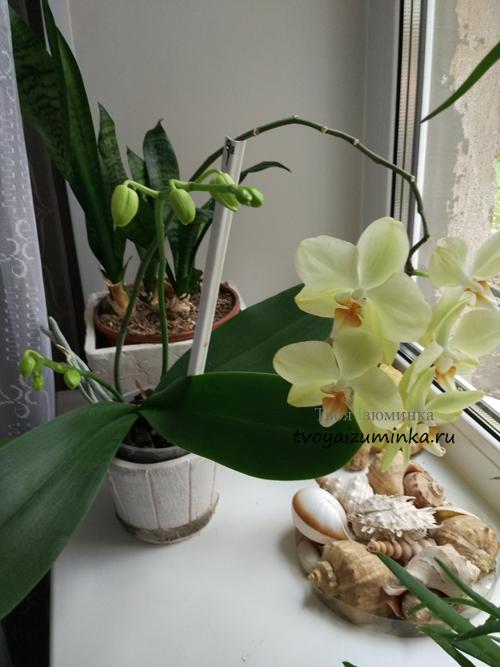 Как ухаживать за орхидеей (фаленопсис) после покупки в горшке