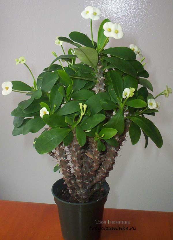 Молочай Миля - Комнатные растения и цветы 1