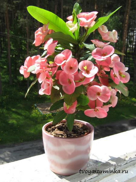 Молочай комнатный: красивые и оригинальные виды цветка для разведения дома