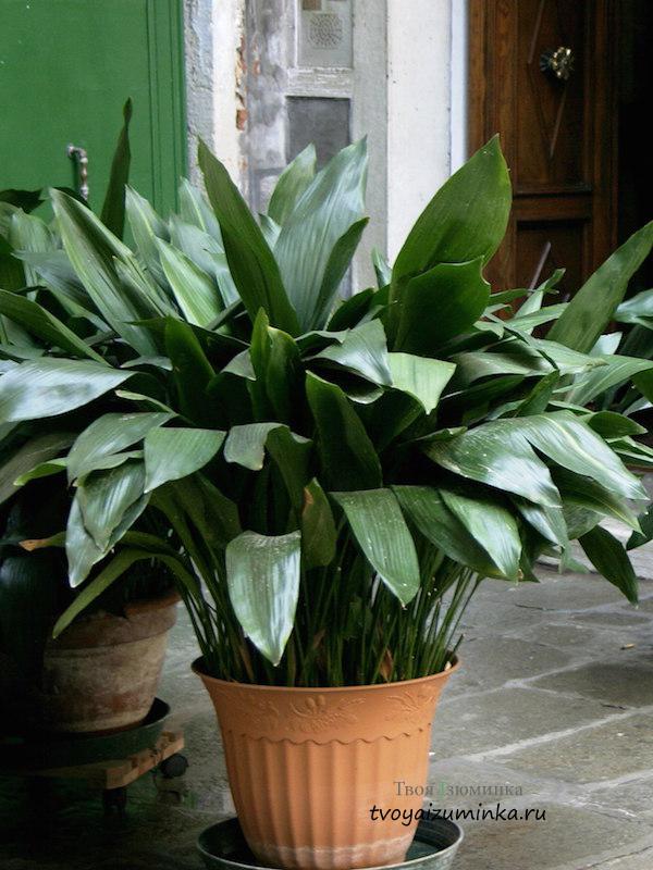 Неприхотливые комнатные растения (фото, название, уход)