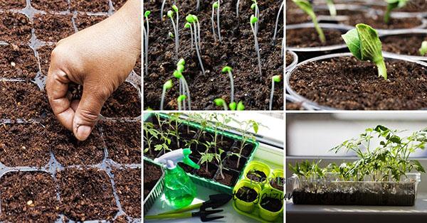 Как выбирать семена для рассады: советы садоводам